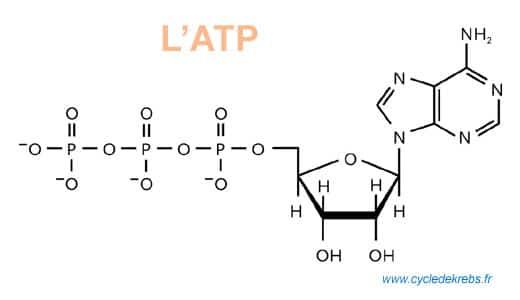 Cycle de Krebs - ATP