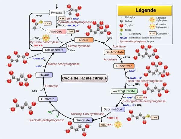 Cycle de Krebs détaillé