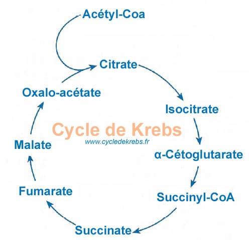 Cycle de Krebs, le schéma simplifié