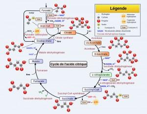 Le schéma détaillé du Cycle de Krebs