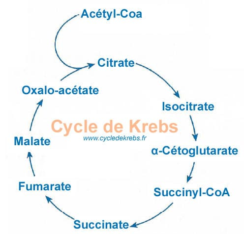 Cycle de Krebs, le schéma simplifié